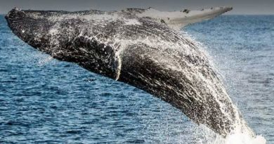 Satellites to detect stranded whales from space