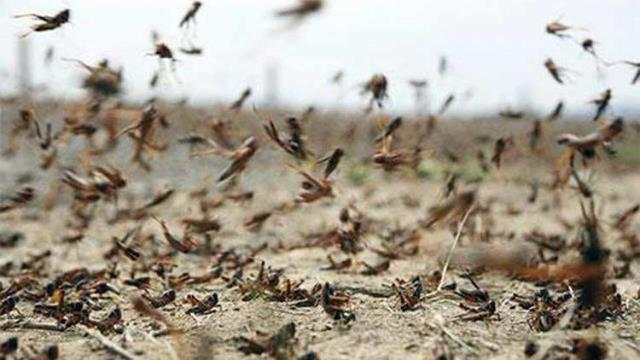 Locust control operations continue, no crop loss reported: Centre